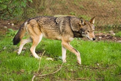 https://i1.wp.com/www.dreamingofwolves.com/images/adultredwolf-smaller.jpg