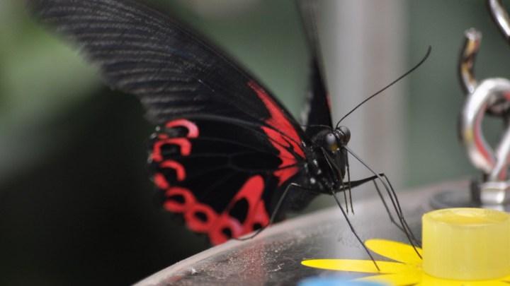 Papilionrama