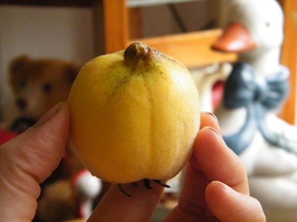 Small orange quince