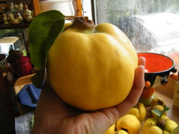 Large orange quince