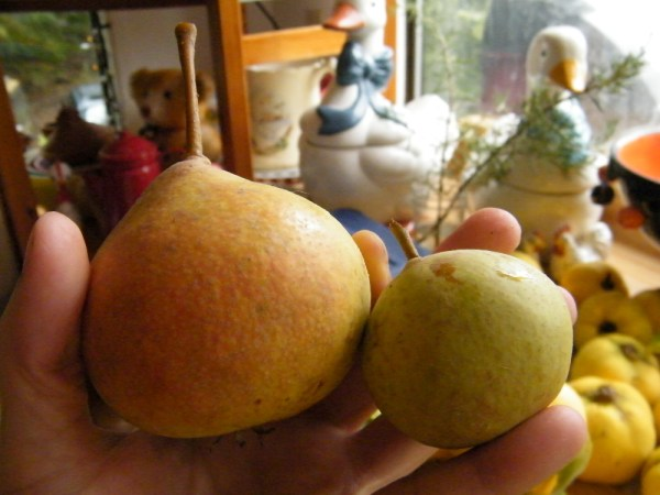 Large and small quince