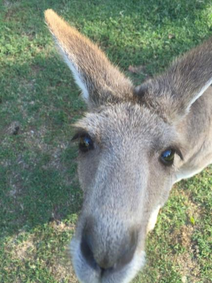zooby brisbane kangaroo