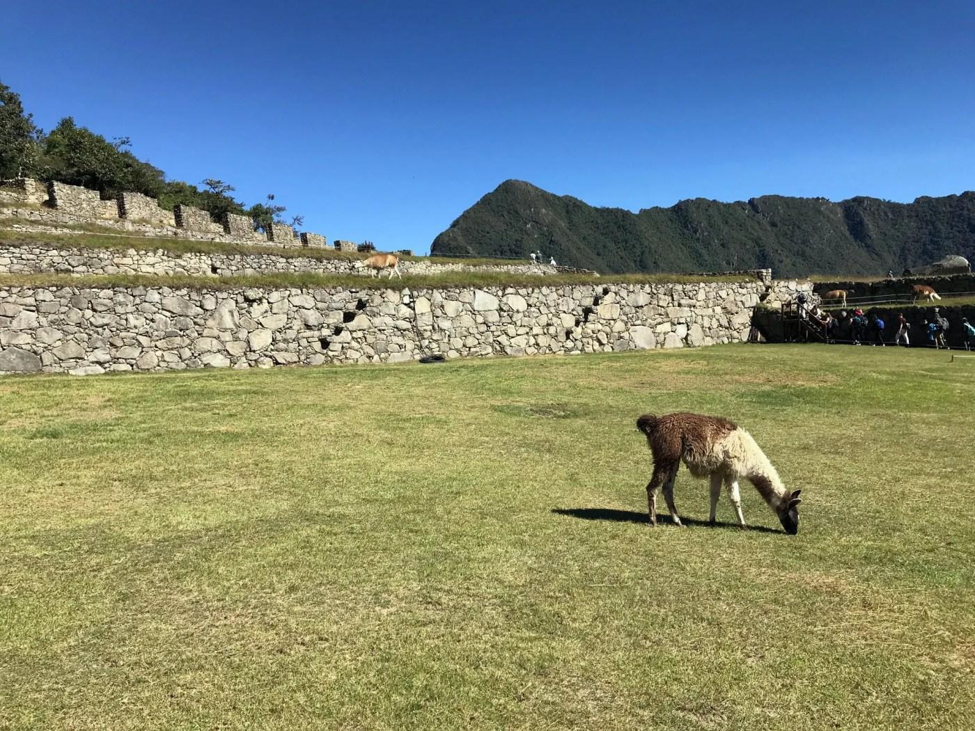 lama grazing machu picchu