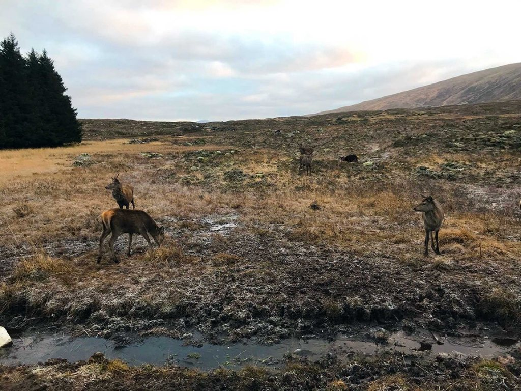 Highlands deer