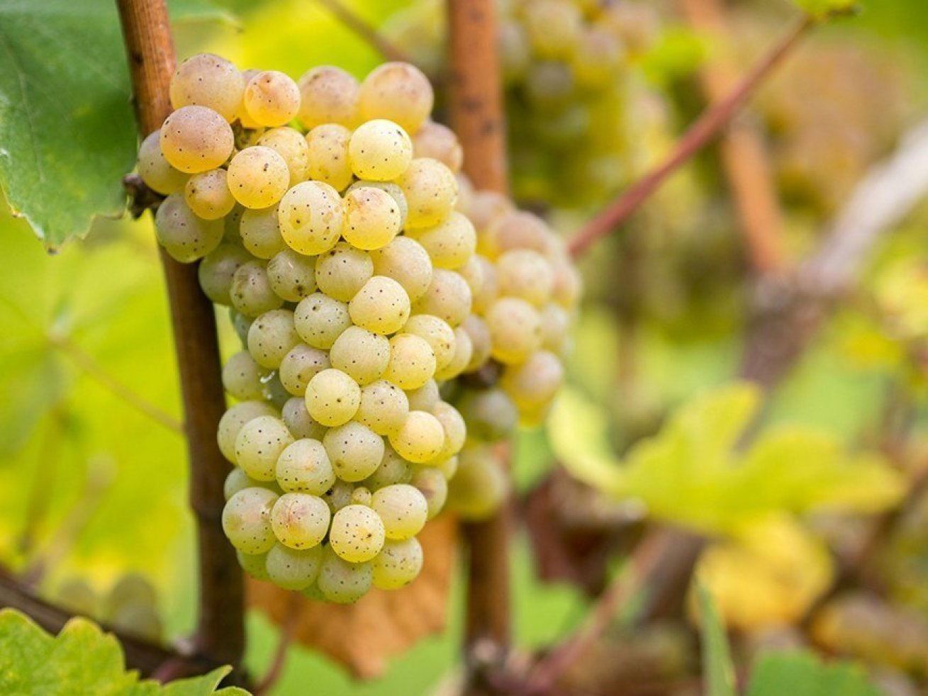 Riesling grapes for wines in germany