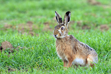 The meaning of dreams about hares