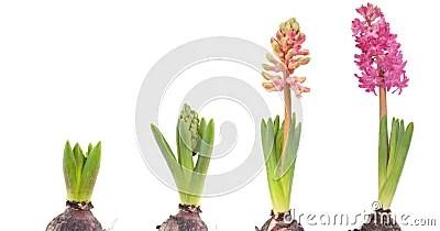 Growing pink Hyacinth
