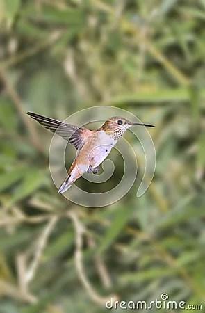 Humming Bird Royalty Free Stock Images - Image: 3345519