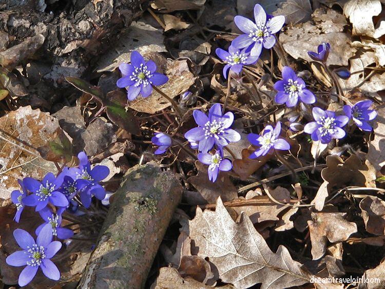 Sweden_Bjorko-island_blue-flowers