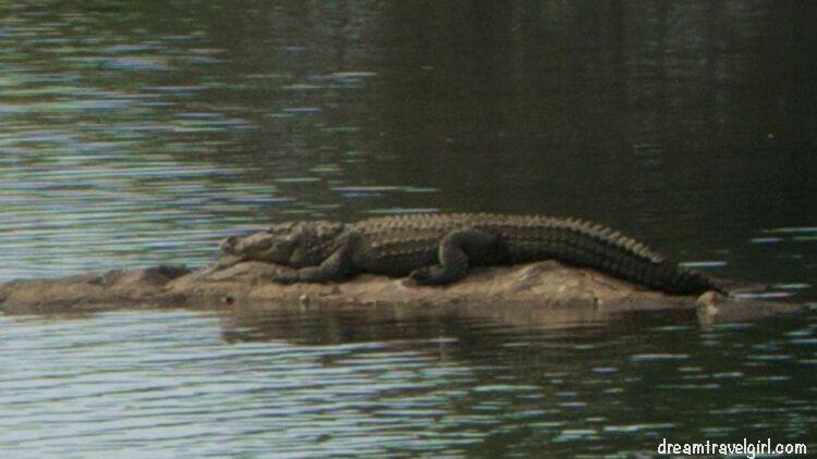 One of the crocodiles
