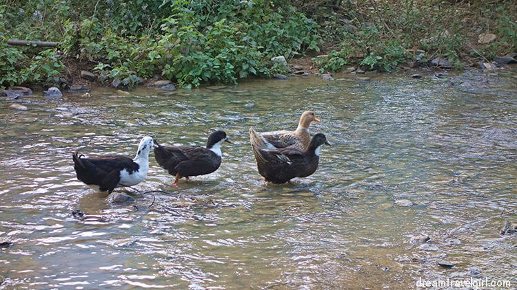 Laos_Huay-Bo_ducks