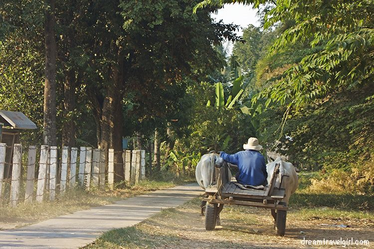 Cambodia_Kratie_Koh-Trong_man-cows-H