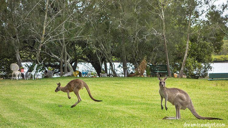 Australia_Jervis-Bay_ kangaroos03