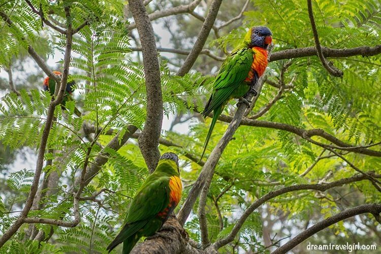 Australia_Jervis-Bay_ native-birds3