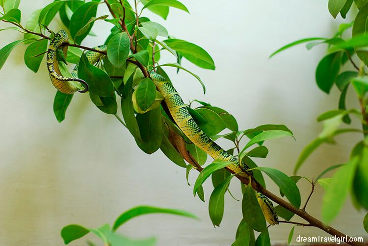 Snake in the Snake Temple, Penang, Malaysia