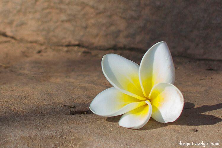 Flor blanca en Champasak, Laos
