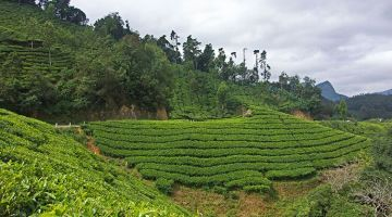 Munnar: thoughts between tea plantations