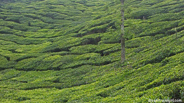 India_Munnar09_plantations-pattern