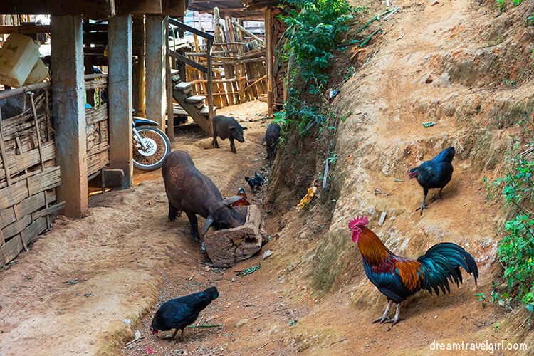 Chickens and pigs everywhere
