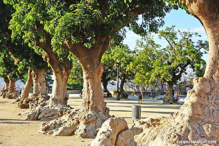 Ancient trees in Miramar