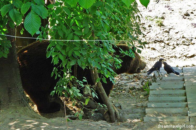 Bern bear looking at two birds