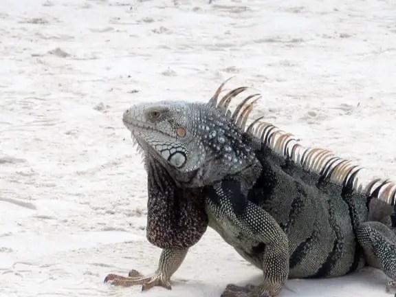 Iguanas on the beach at Renaissance Island