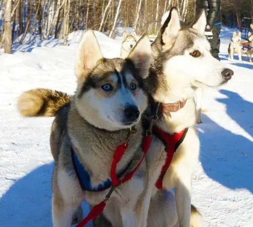 Winterdance-dog-sled-tour-022814_11