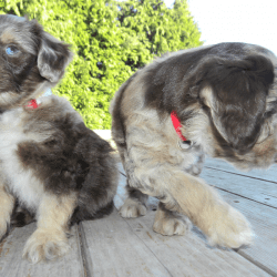 Deworming Puppies Pyrantel Pamoate Dosage Chart Aussiedoodle And Labradoodle Puppies Best
