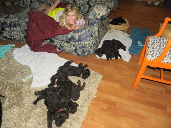 Chocolate Labradoodle Puppy Slumber Party!