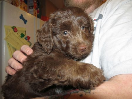Chocolate Mini Aussiedoodle Male