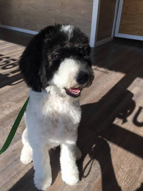 Sully - Black and White Parti Multigen Labradoodle Male - Dreamydoodles Northwest