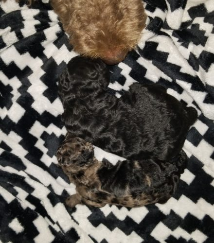 Smallest Puppy next to her littermate - She caught up by 4 wks