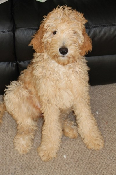 Lilly the Goldendoodle