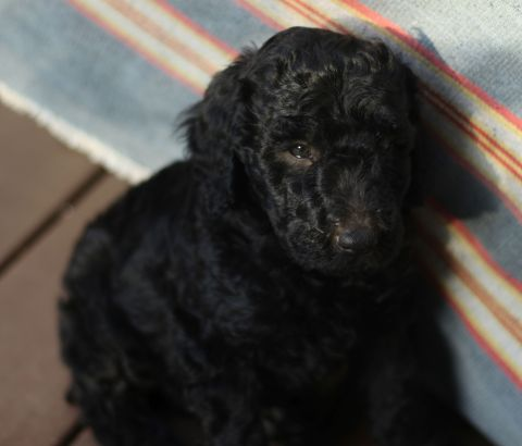 Solid Black Male Multigen Labradoodle