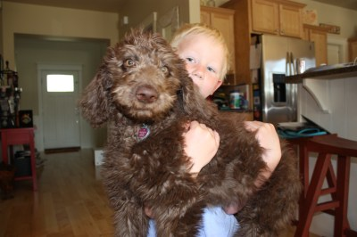 Labradoodle Reece at home