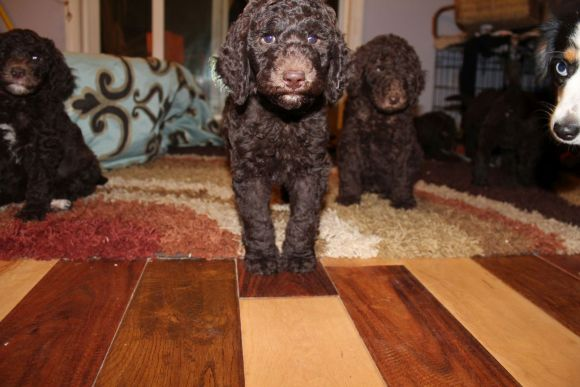 Chocolate Multigen Labradoodle Puppies - Maddie - Puppy Vaccinations