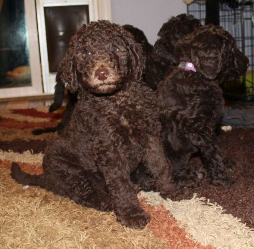 Chocolate and Cream Multigen Labradoodle puppies from Maddie and Hershey - 7 wks old