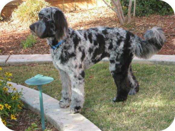 Mattie a Beautifully Well Groomed Aussiedoodle!