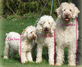 dogs labradoodle adult