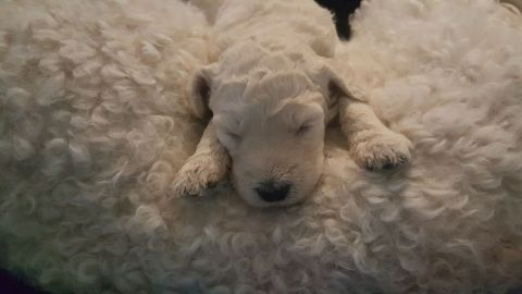 One of Pele and Hershey cream multigen labradoodle female puppy taking a nap on Mommy...