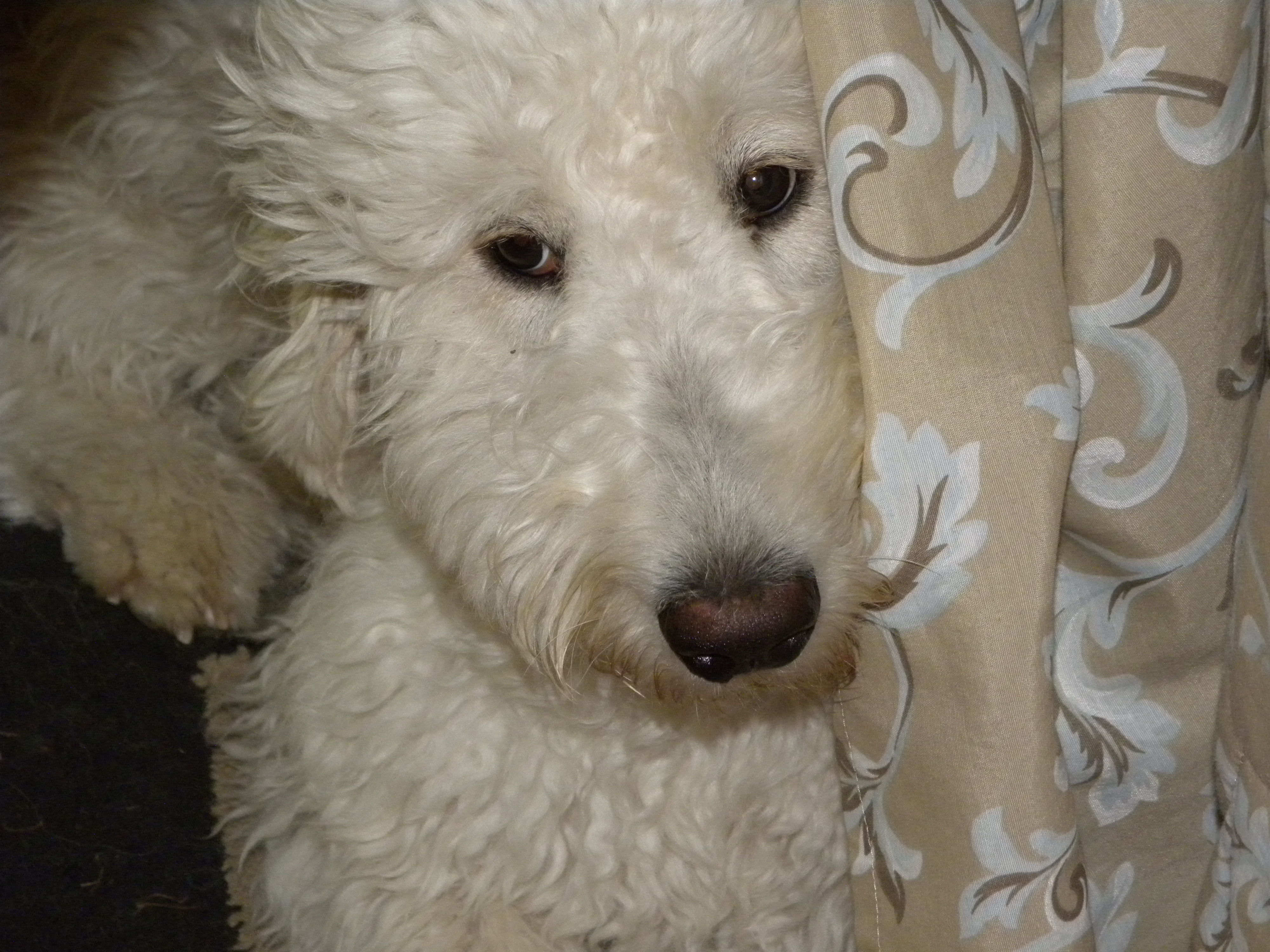 Baby f1 goldendoodle aussiedoodle and labradoodle puppies baby is hiding from me and the camera in this picture nvjuhfo Images