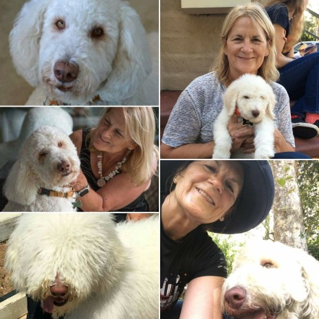 Multigen Labradoodle Before and After Grooming and from Puppy to Adult and