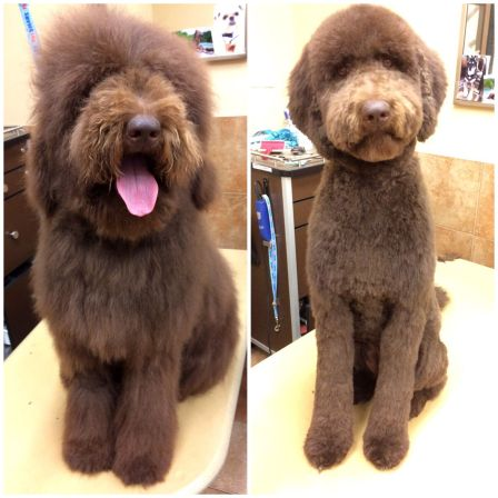 Grooming the Labradoodle before and after