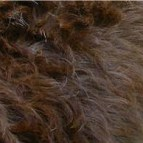 Hair: also known as flat or slick coat, this is a shedding coat and is NOT allergy friendly