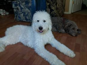 White Standard Poodle and Silver Beige F1B Labradoodle Friends - Vaccine Boosters - Vaccine Protocol for Labradoodle Puppies