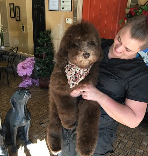 Double Doodle Puppy after first Grooming - She has a wonderful temperament and the groomer was so impressed!