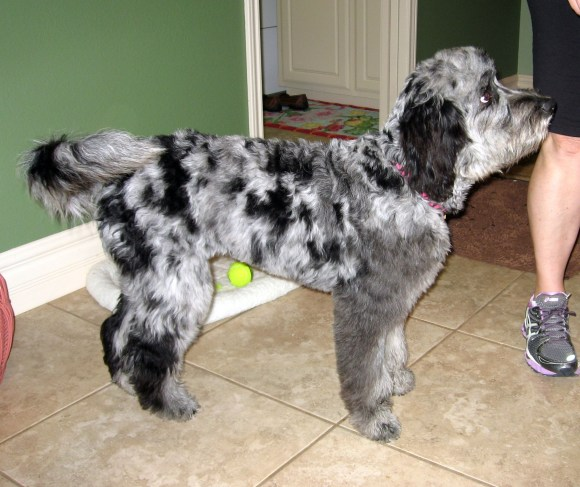 Mattie - Blue Merle Aussiedoodle from Dreamydoodles Northwest - Side Profile Picture - Small Standard