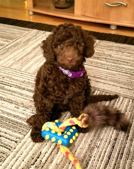 CHOCOLATE MINI AUSSIEDOODLE PUPPY WITH HER TOYS