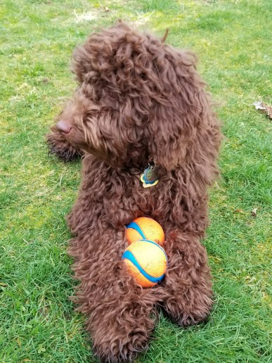 Mini Chocolate Aussiedoodle Goose with her balls - Puppy Vaccine Protocol