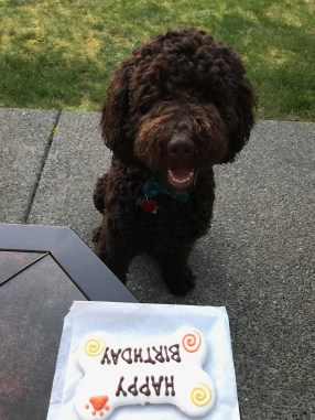 Charlie - 1 year Chocolate Multigen Labradoodle Cake - Puppy Vaccinations Boosters